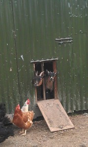 Goats in the Hen Shed