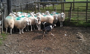 Mist & Nell with the Ewes